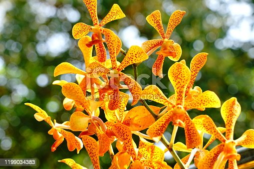 Yellow bush Orchid in garden