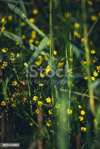 Yellow buttercup flowers between reed.