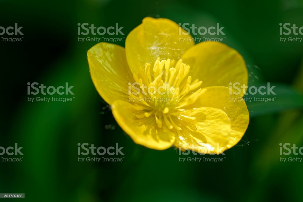 yellow buttercup in a meadow stock photo