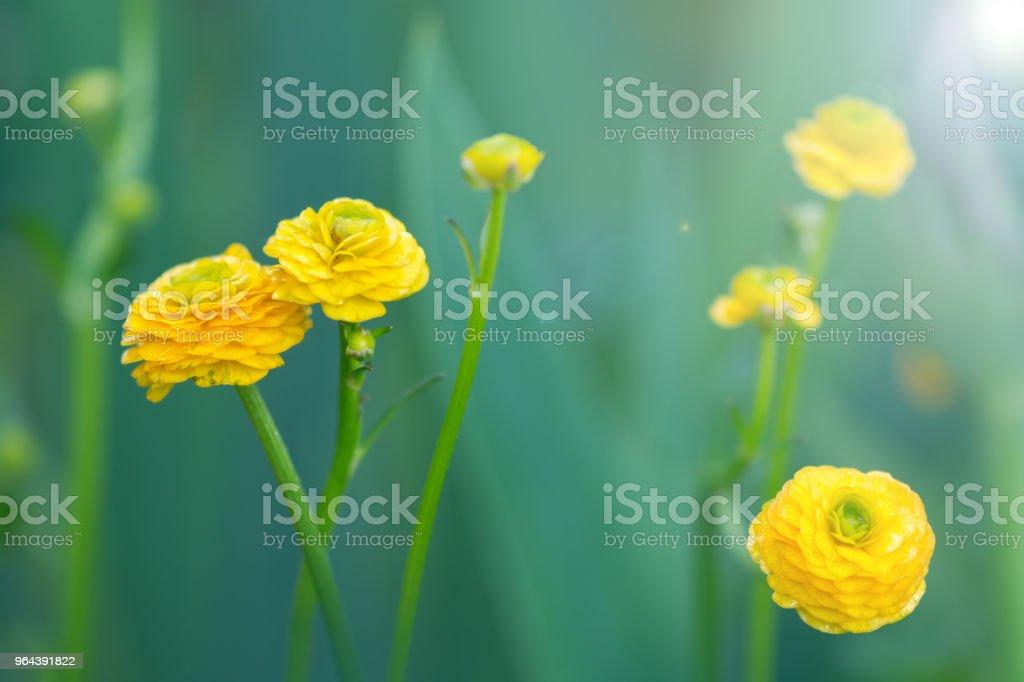 Florzinha amarela sobre um fundo verde. - Foto de stock de Abril royalty-free