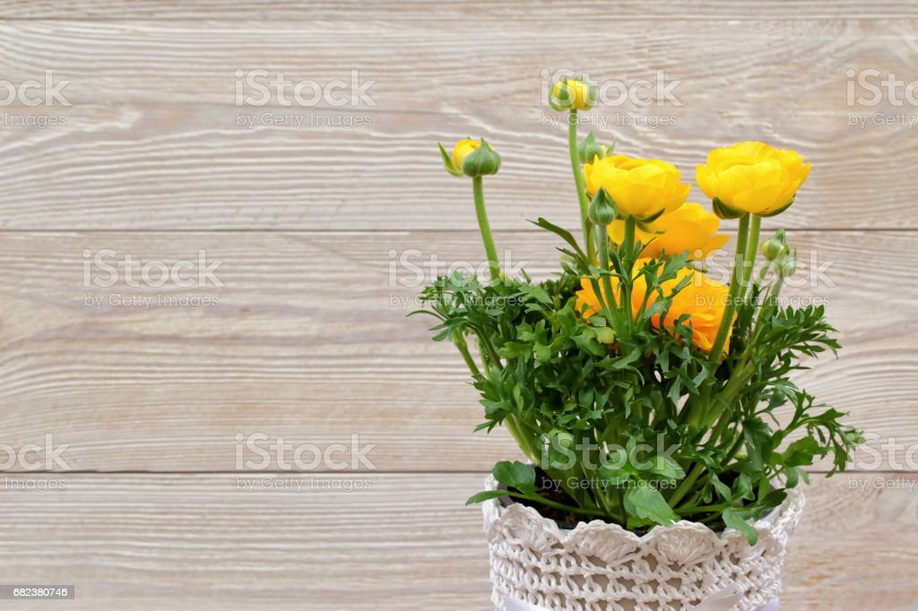 Yellow buttercup royalty-free stock photo