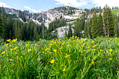 This is a closeup of some buttercup wildflowers blooming on the hiking path to Dog Lake in Utah.  Towering is one of the mountains surrounding the small lake.  This shot was taken during the late summer, at the peak of the wildflower season for the high elevations.