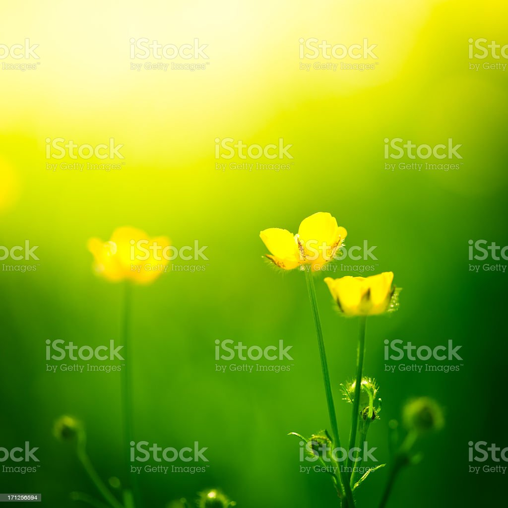Yellow buttercups in a sunny field stock photo
