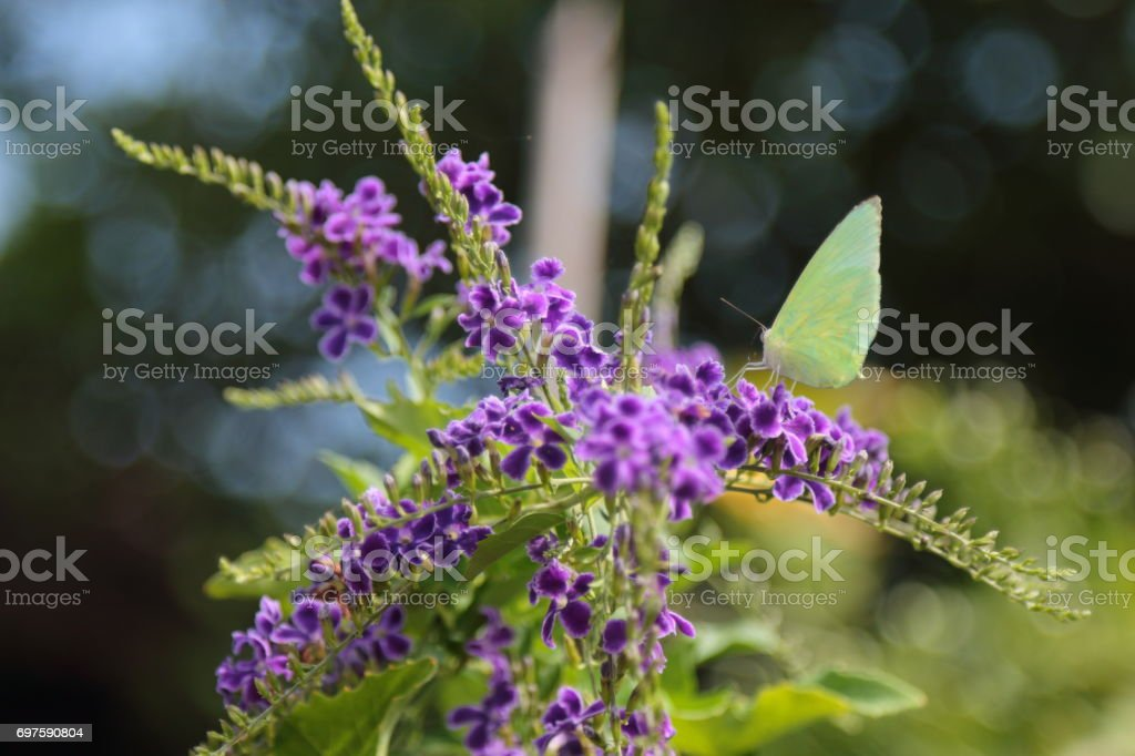Yellow butterfly catch on purple flowers. stock photo
