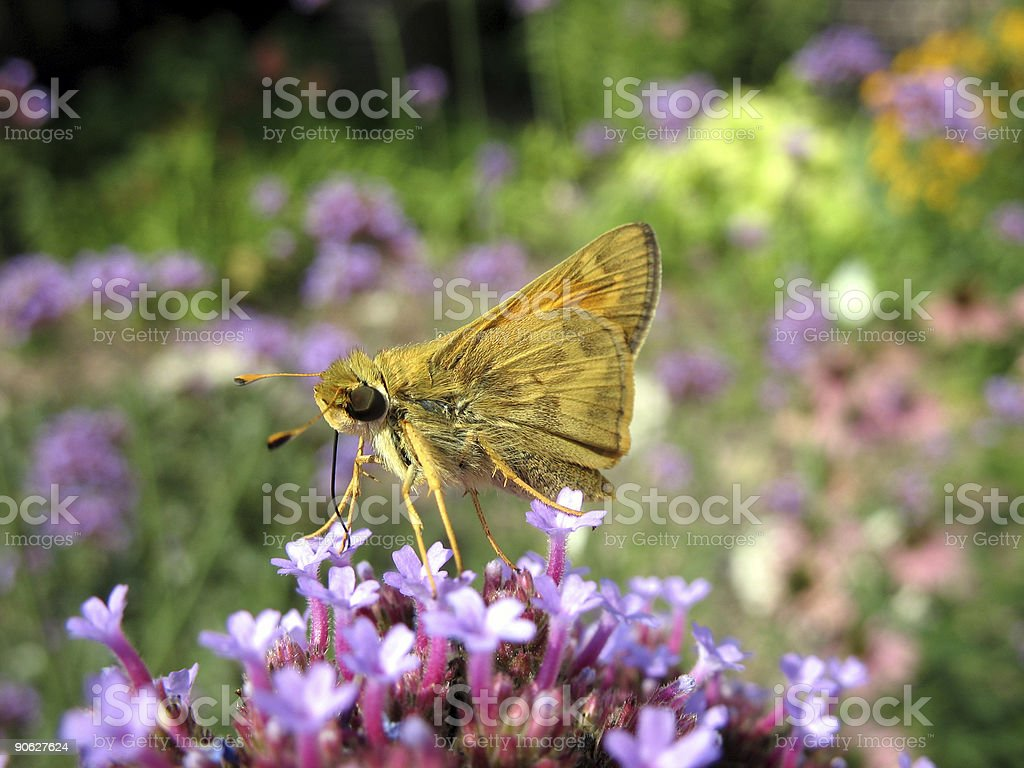 Yellow butterfly closeup royalty-free stock photo
