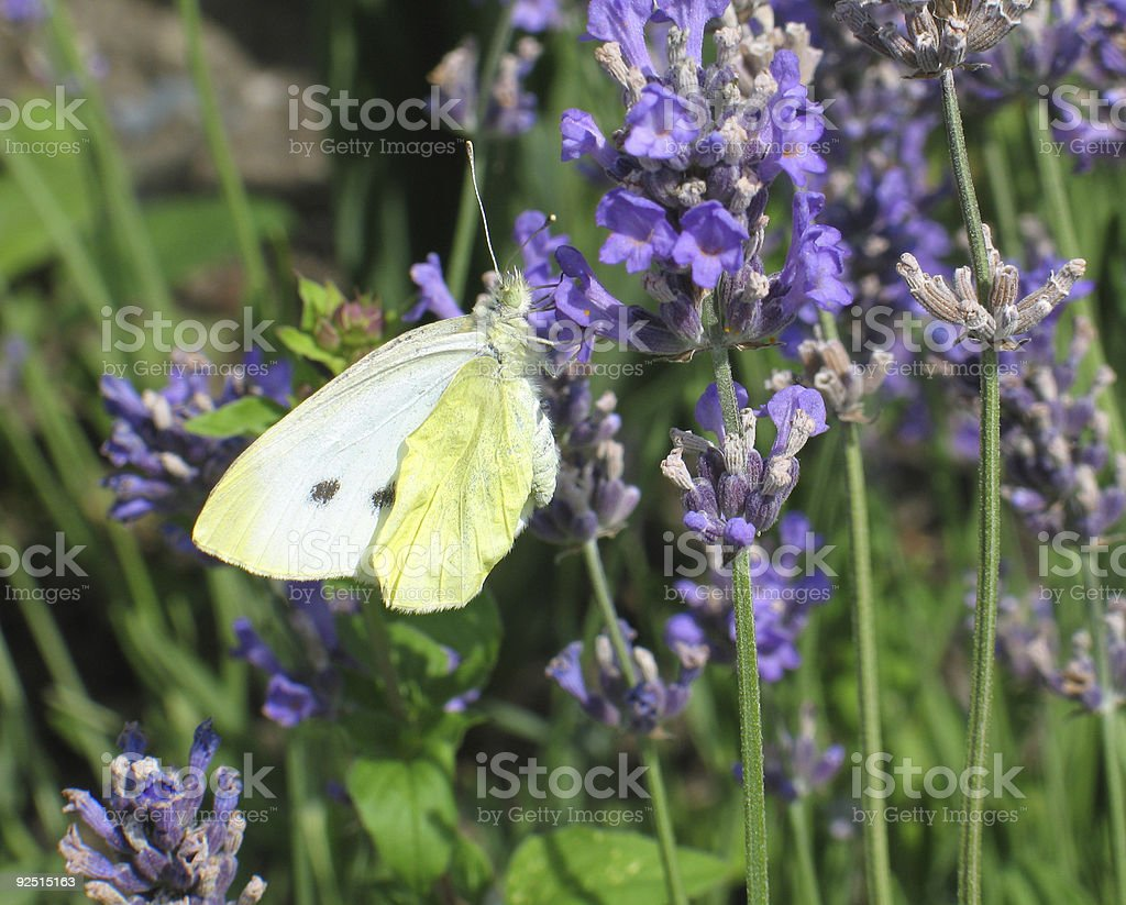 Yellow butterfly dinner... royalty-free stock photo