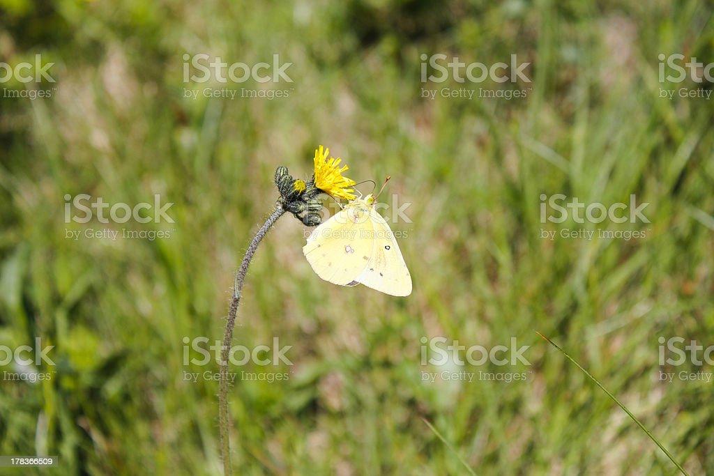 Yellow Butterfly Feeding on Dandelion stock photo