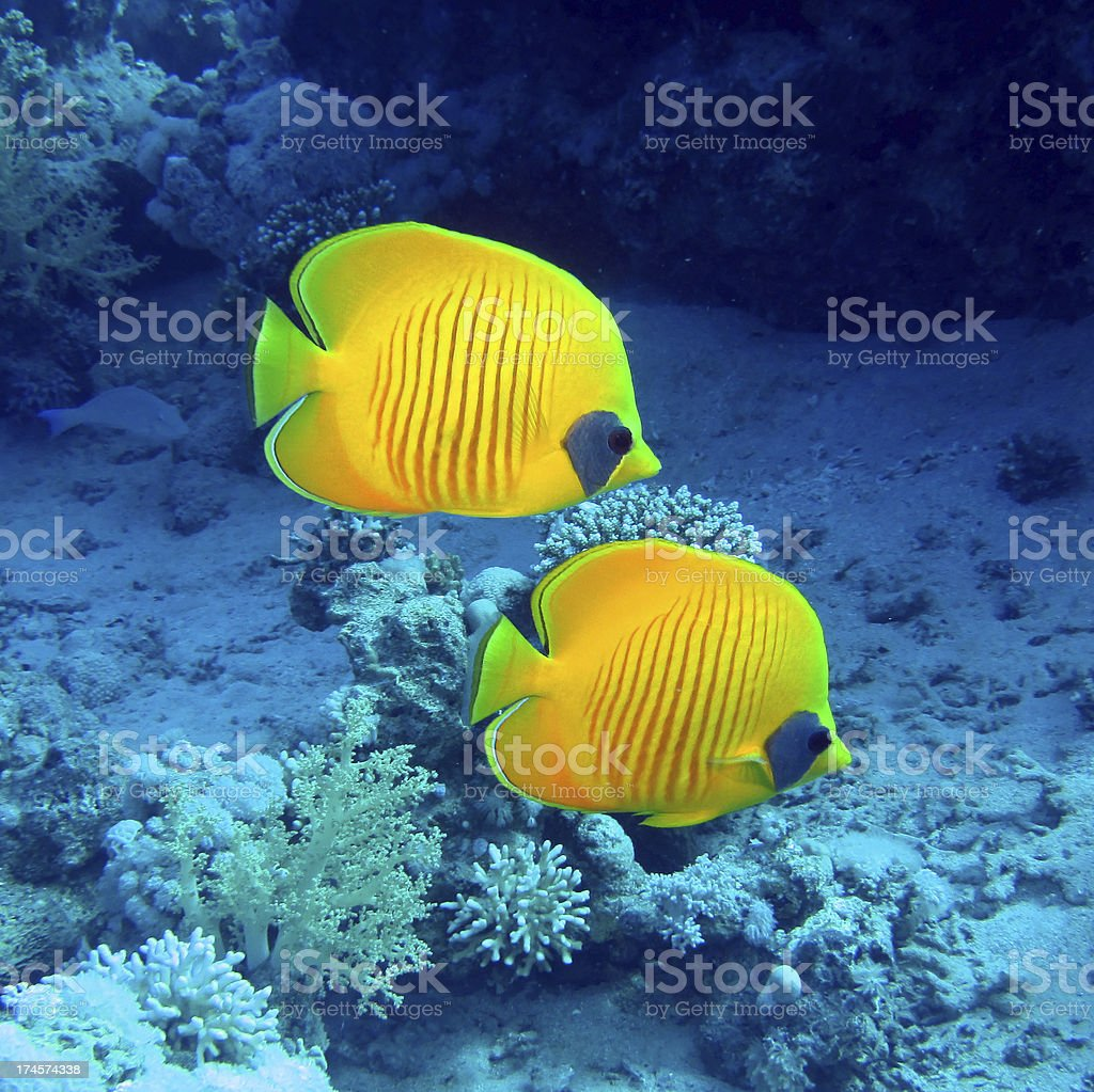 Yellow butterfly fish in the ocean stock photo
