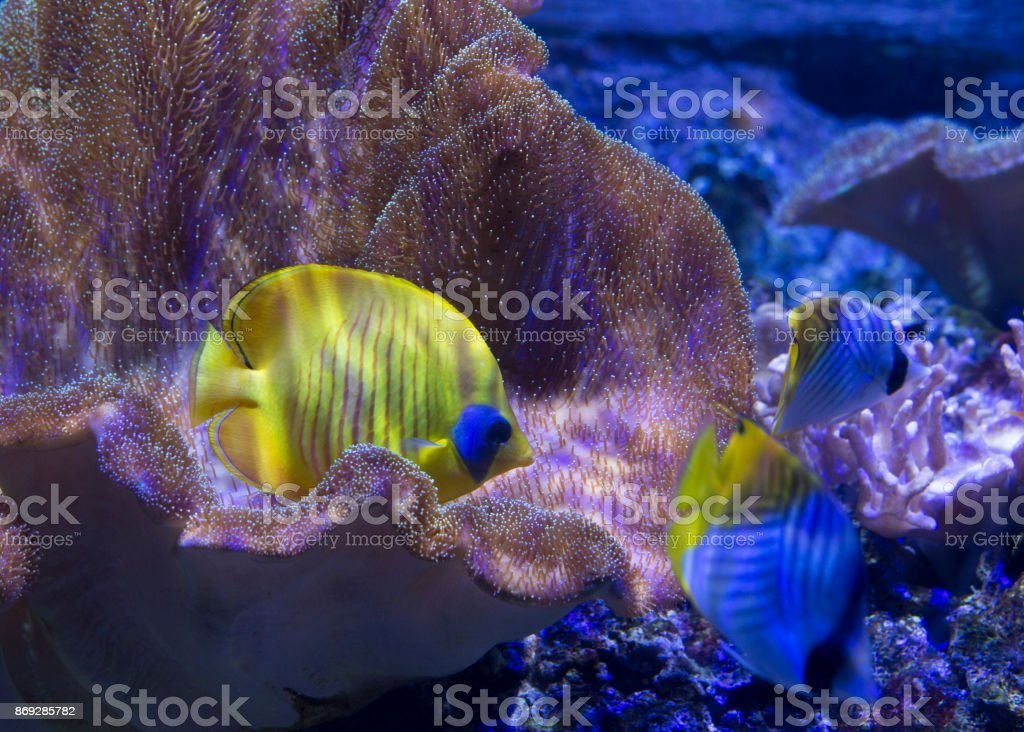 Yellow butterfly fish stock photo