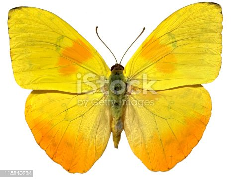 Yellow butterfly lit by sunlight isolated on a white background with the pin head cloned out, a second fully isolated version is available with its natural drop shadow