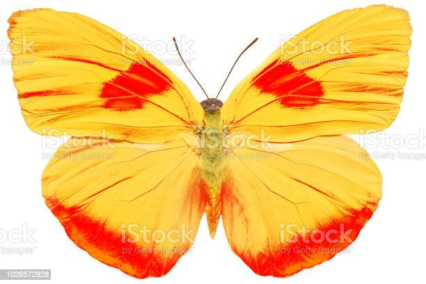 Yellow butterfly isolated on white background picture id1026572928?b=1&k=6&m=1026572928&s=612x612&h=vdaml6bqhjhbde5ol 509upz yzic4v42bw3s mhoha=