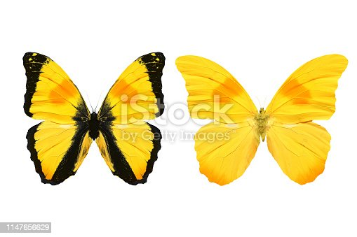 yellow butterfly isolated on white background. tropical insects.