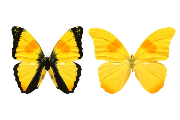 Yellow butterfly isolated on white background tropical insects picture id1147656629?b=1&k=6&m=1147656629&s=612x612&w=0&h=sitvcrfponjgsa62djimtpicdorbnoq s6he cejpca=