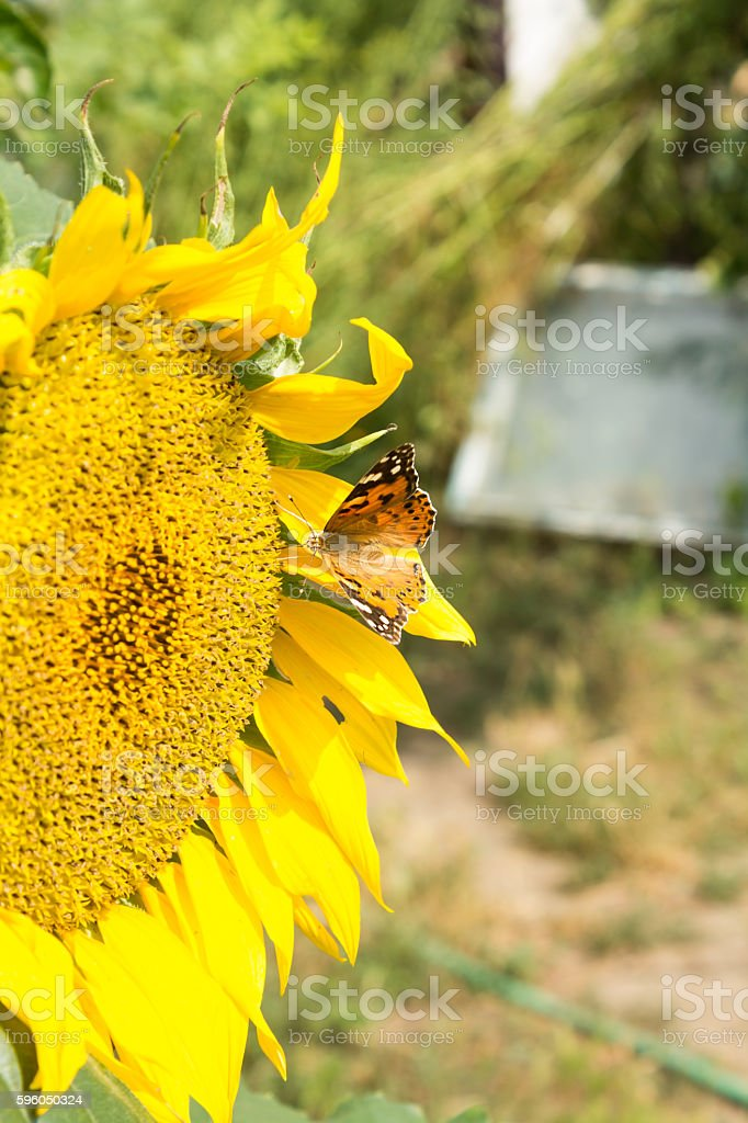 Yellow butterfly on a flower sunflower royalty-free stock photo