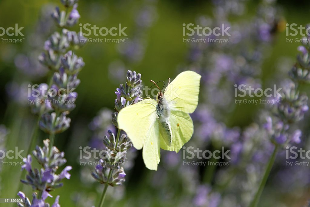 Yellow butterfly on lavender royalty-free stock photo