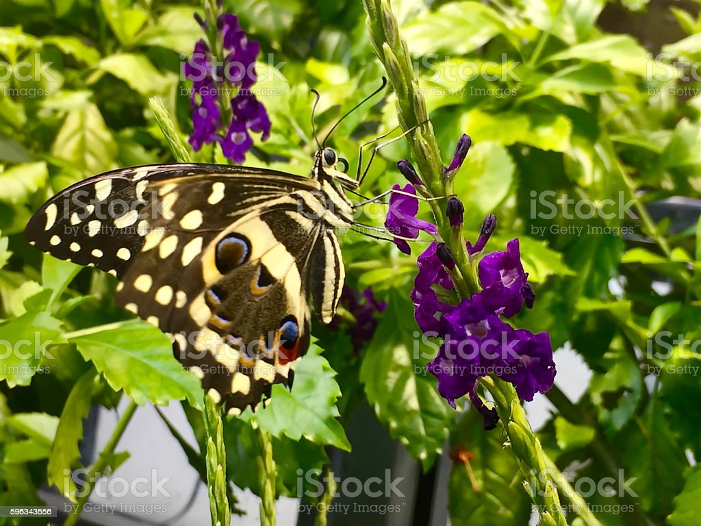 Yellow Butterfly on Purple Flower royalty-free stock photo