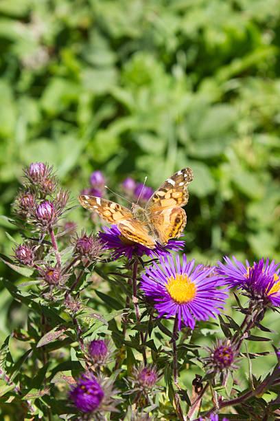 Yellow Butterfly on Purple Flowers stock photo