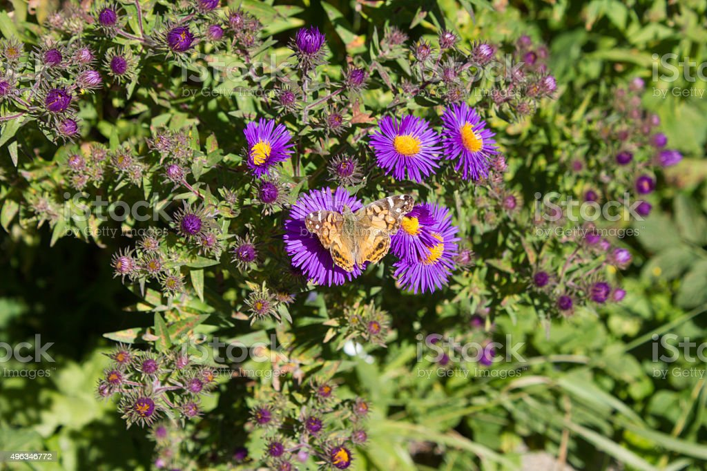 Yellow Butterfly on Purple Flowers stock photo
