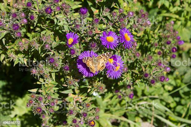 Yellow Butterfly On Purple Flowers Stock Photo - Download Image Now