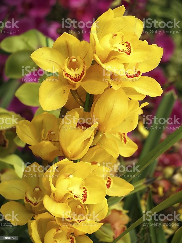 Yellow Butterfly Orchids royalty-free stock photo