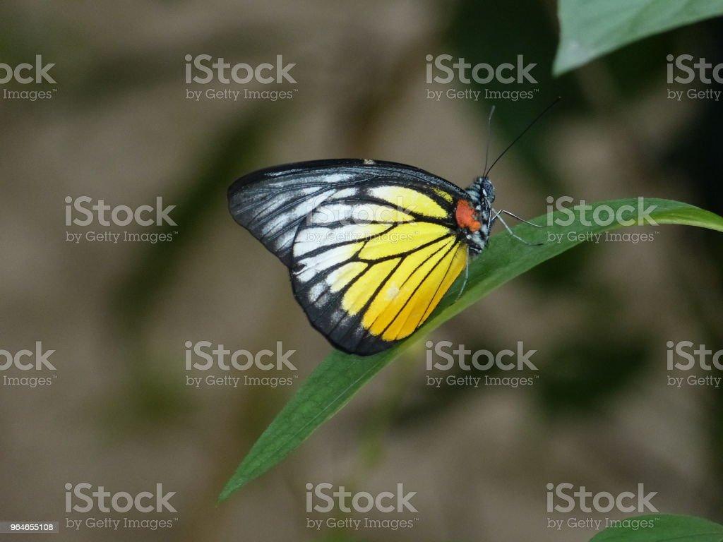 yellow Schmetterling – Foto