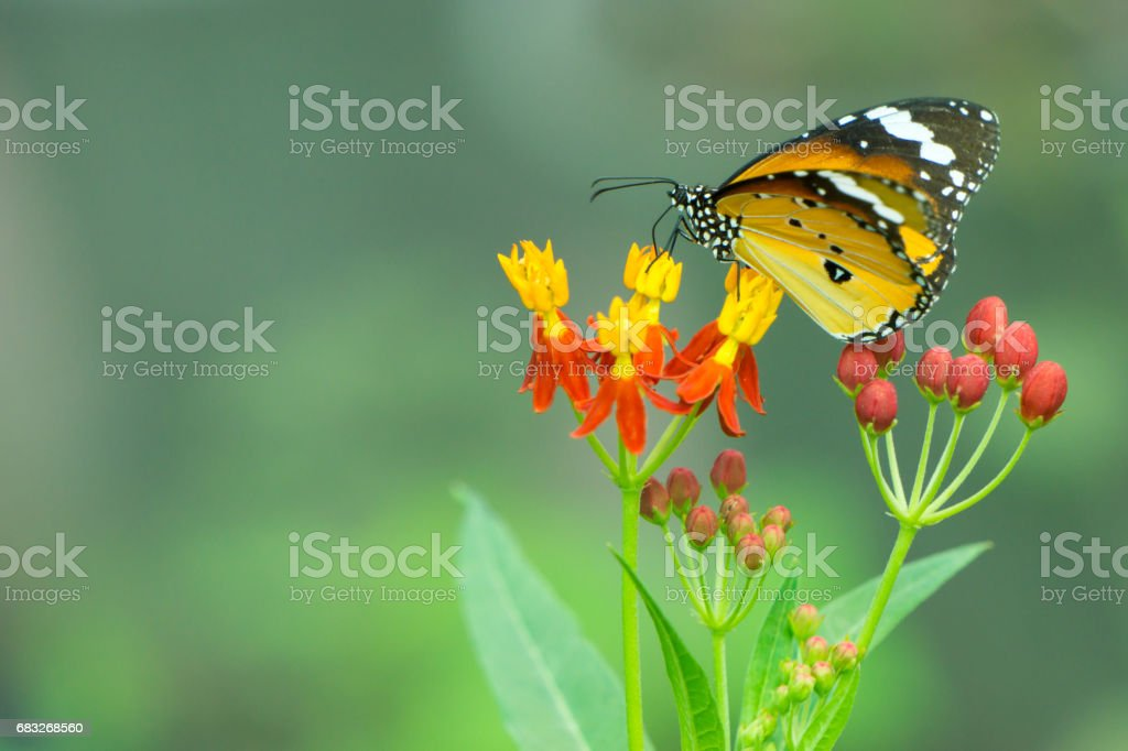 Yellow butterfly sucking nectar from flowers. stock photo