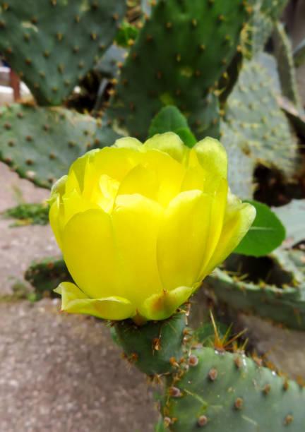cactus de flor amarilla - opuntia robusta fotografías e imágenes de stock