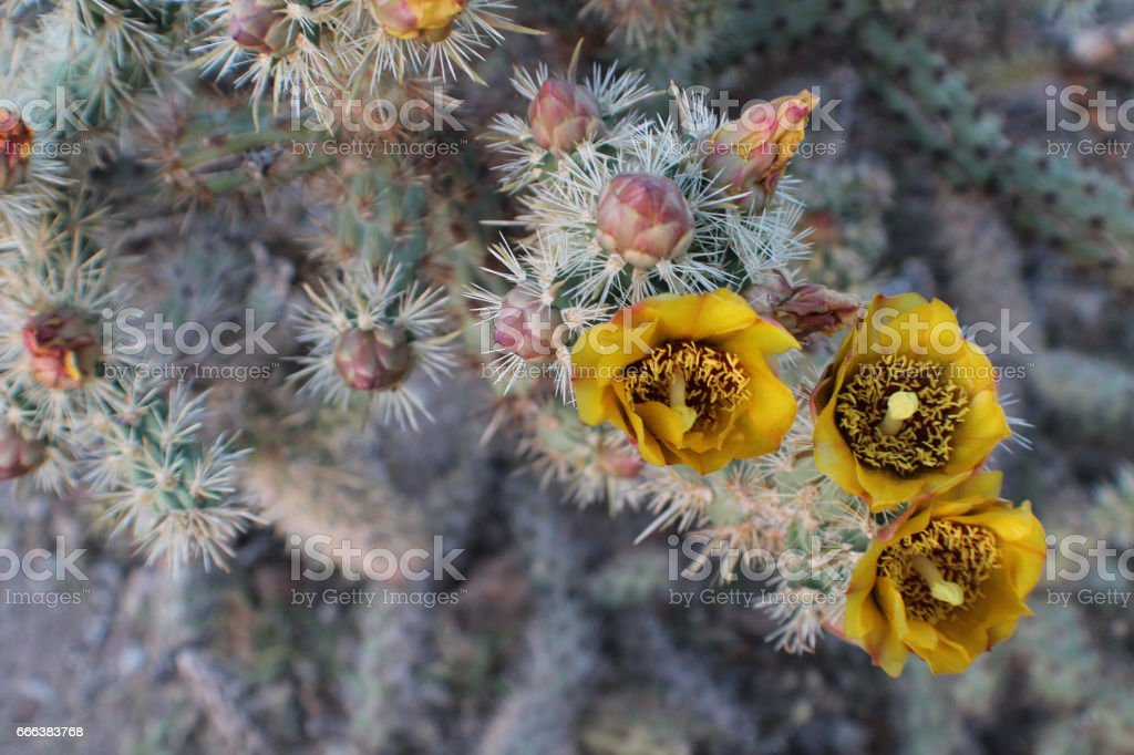 yellow cactus flowers blooming stock photo