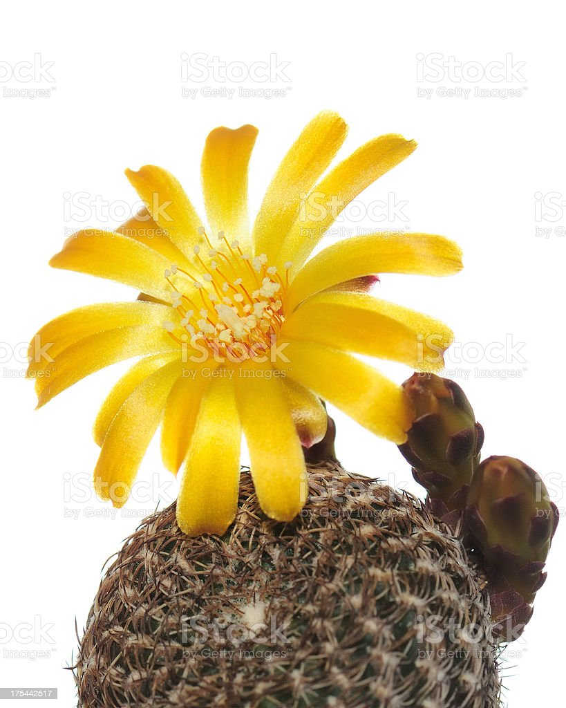Yellow Cactus Flowers On A White Background Stock Photo More