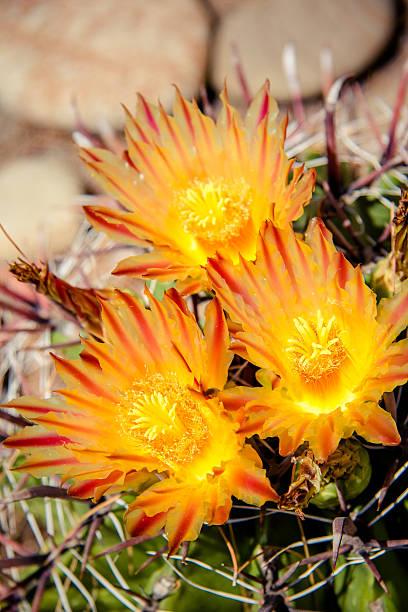 Yellow cactus flowers stock photo