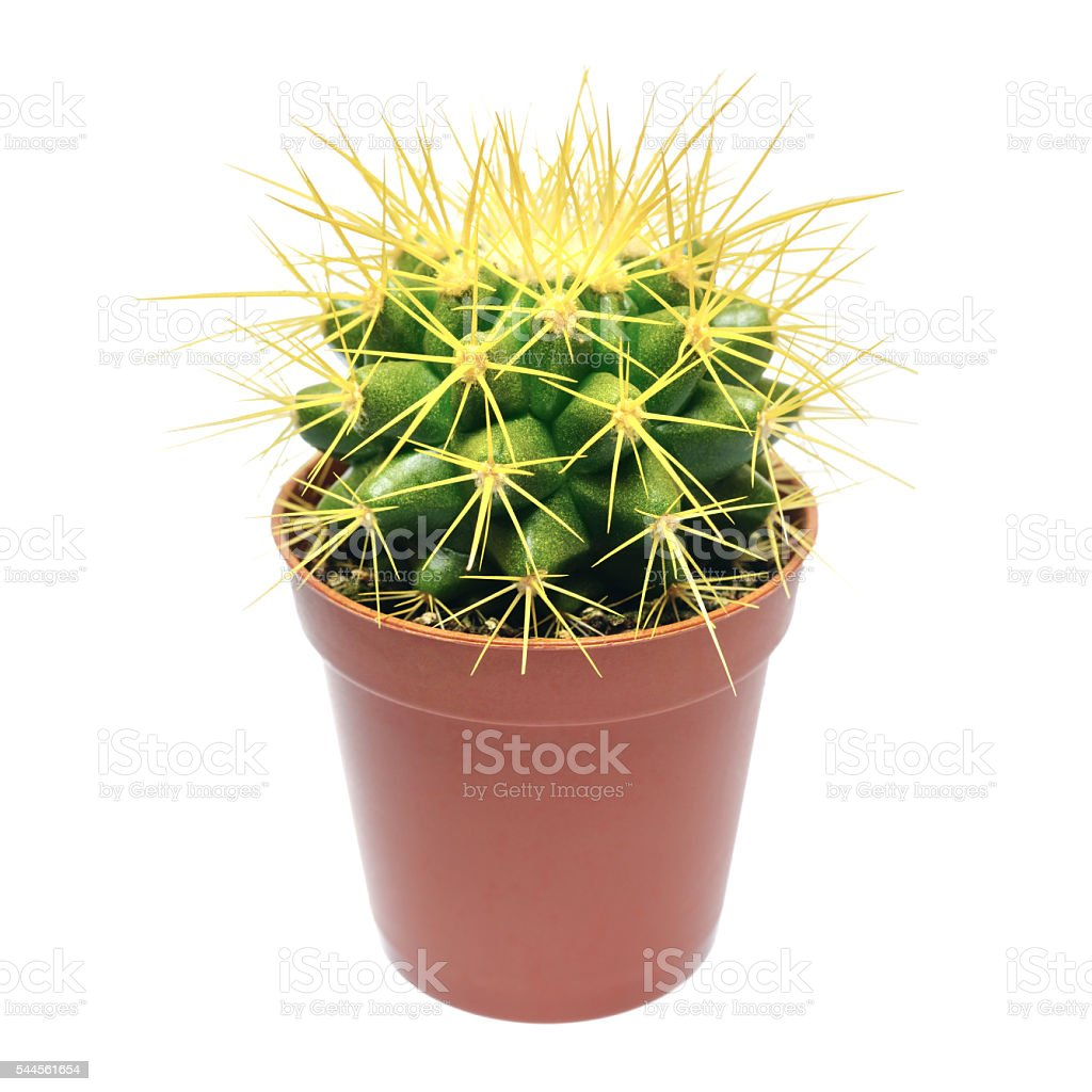 Yellow cactus in flowerpot royalty-free stock photo