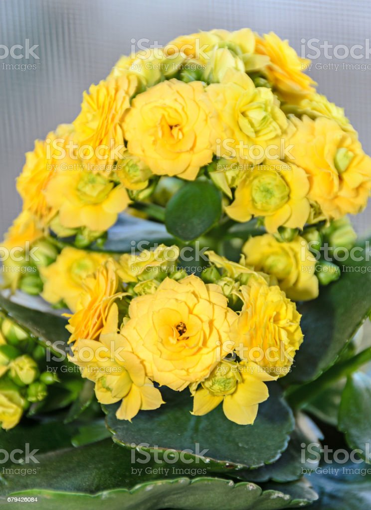 Yellow Calandiva flowers Kalanchoe, family Crassulaceae, close up royalty-free stock photo