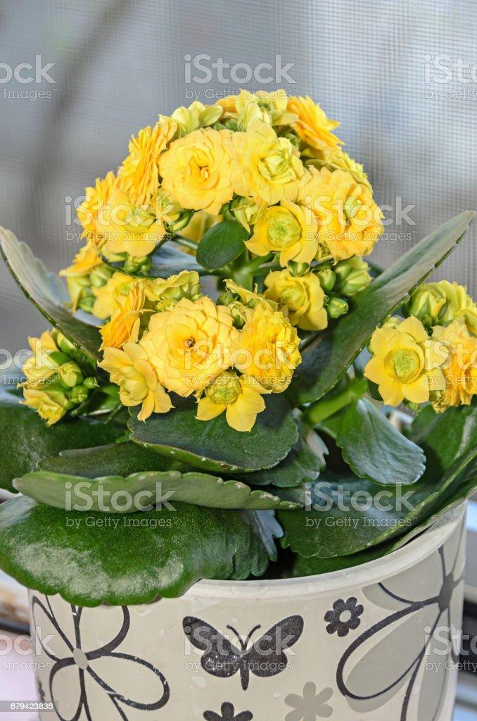 Yellow Calandiva flowers Kalanchoe, family Crassulaceae, flowerpot royalty-free stock photo