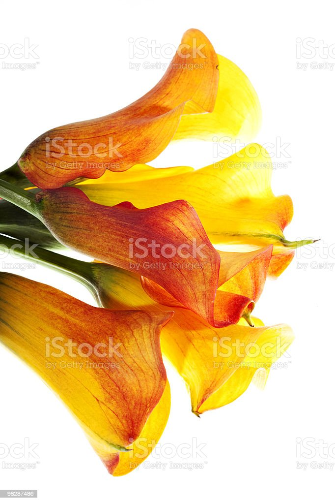 Giallo callas bouquet foto stock royalty-free