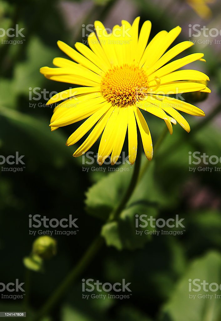 Yellow camomile royalty-free stock photo