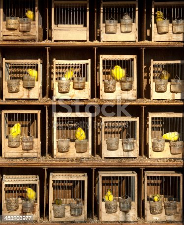 Rows of caged yellow canaries for sale in a pet shop each housed in an individual cage for breeding purposes