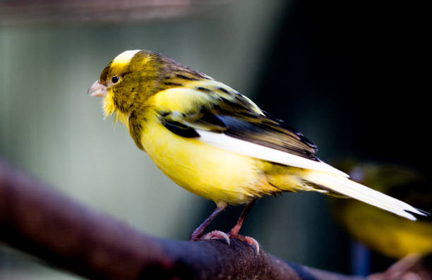 oiseau canari jaune - canari photos et images de collection