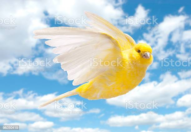 Yellow canary flying in cloudy sky picture id98250415?b=1&k=6&m=98250415&s=612x612&h=an5gsufsmzpstdwfy3z5tmzxahytohfq1c9mlwa6y8e=