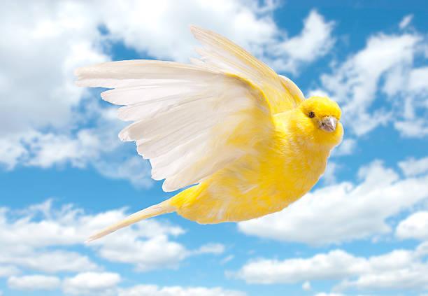 jaune canari voler dans le ciel nuageux - canari photos et images de collection