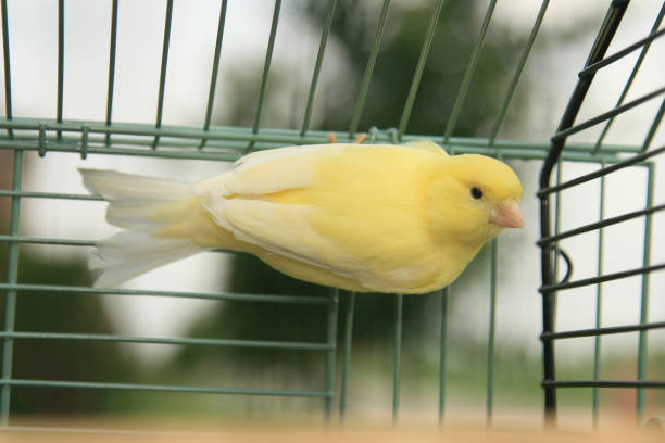 Yellow canary in birdcage stock photo