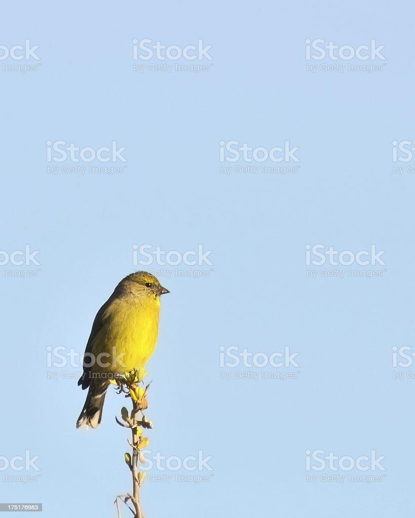Gelbe Kanarienvogel In Südafrika The Kennedys Stock-Fotografie und ...