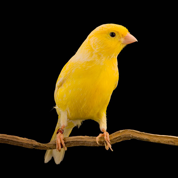 yellow canary on a wooden perch - animals in captivity stock pictures, royalty-free photos & images