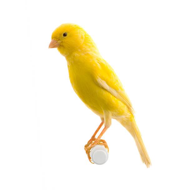 Yellow canary on its perch picture id93209463?b=1&k=6&m=93209463&s=612x612&w=0&h=qmcje6lqtr5swnexxpumx5k00dy6j n3h9sstfuapuw=