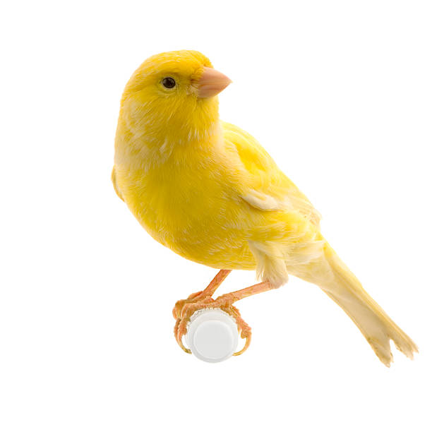 yellow canary on its perch - animals in captivity stock pictures, royalty-free photos & images
