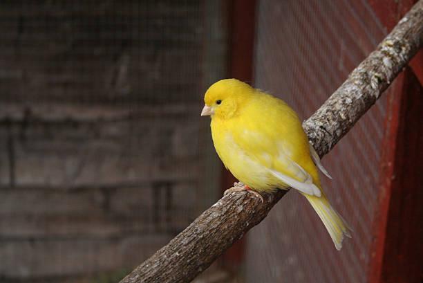 jaune canari - canari photos et images de collection