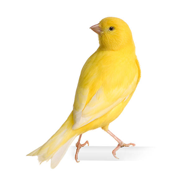 jaune canari-serinus canaria sur son perchoir - canari photos et images de collection