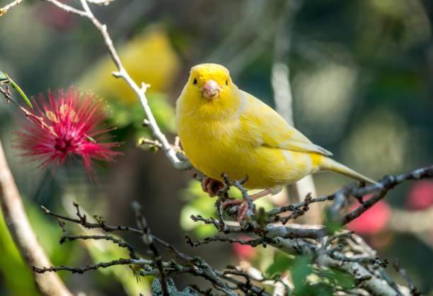 jaune canari, crithagra flaviventris - canari photos et images de collection