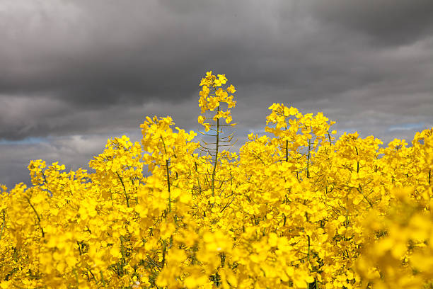 Yellow Canola Against a Grey Cloudy Sky stock photo