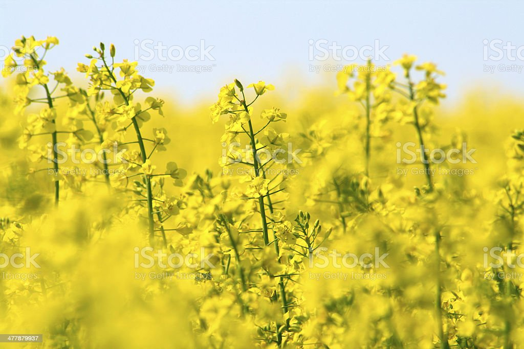 Yellow canola field and light blue sky stock photo