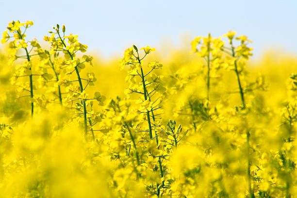 Yellow canola field and light blue sky Yellow canola field and light blue sky; Germany; Copy Space oilseed rape stock pictures, royalty-free photos & images